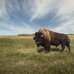 Header Image - Bison