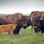 Bison group with baby calf