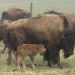 A herd of bison standing in a field